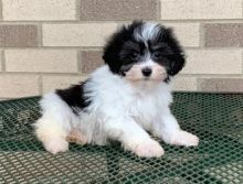 Astounding Ckc Havanese Puppies Available