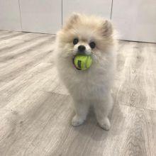 Staggering Ckc Pomeranian Puppies Available [ kurtmorgan51691@gmail.com]