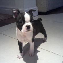 Fantastic Boston Terriers Puppies Male and Female for adoption