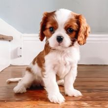 Fantastic Cavalier King Charles Spaniel Puppies Male and Female for adoption