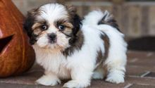 Adorable lovely Male and Female Shih Tzu Puppies for adoption