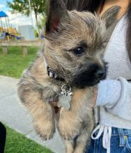 Available Cairn Terrier puppies
