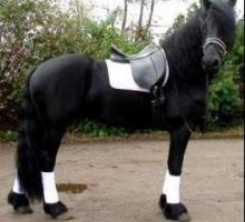 Well Trained Friesian gelding available for caring homes.text/call (604) 245-4480