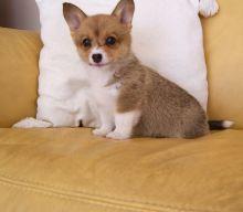 Pembroke Welsh Corgis Puppies