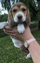 Purebred beagle puppies!