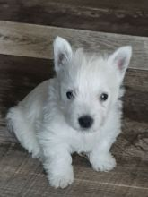 Snow White West Highland Terriers pups
