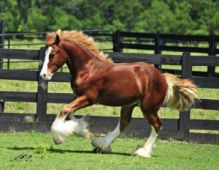 Well trained, strong and energetic Gypsy Horses for adoption.