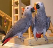 Well Trained Talking Pair of African Grey Parrots for Adoption