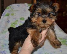 Yorkie Yorkshire terrier puppy