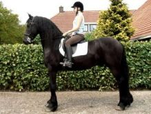 Healthy Well Trained Friesian Horses Available For New Homes.text/call (604) 245-4480
