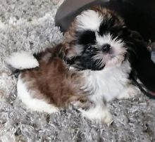 Gorgeous Shih Tzu Puppies available for a new home.[lindsayurbin@gmail.com]