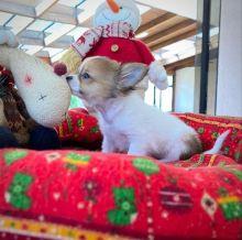 cut loving and adorable male and female Chihuahua Corgi for adoption