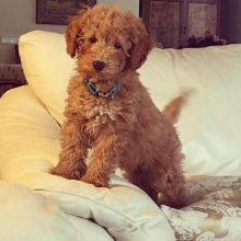Cute and lovely Toy Poodle Puppies for your family.