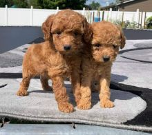 Wonderful Male and Female Toy Poodle puppies for your family.
