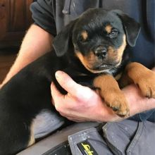 Amazing Male and Female Rottweiler puppies for adoption.