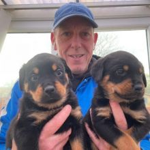 Beautiful male and female Rottweiler puppies for adoption.