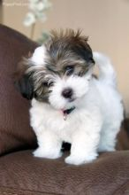 Purebred Shih Tzu puppies, updated on shots, potty trained and well socialized.