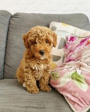 Two Healthy Toy Poodle Puppies Available.