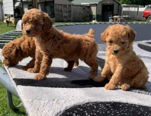 Very Playful Male and Female Toy Poodle Puppies Ready For Adoption