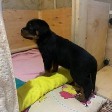 Well Trained Rottweiler puppies available to go to their new homes