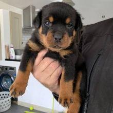 Wonderful Rottweiler Puppies Ready For Adoption