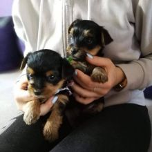 Male and Female Yorkie Puppies for adoption Email us ( dylanmilton225@gmail.com)