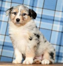 Well trained Australian Shepherd Puppies for adoption Email us ( dylanmilton225@gmail.com)
