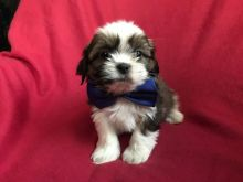 Tremendous Shih tzu puppies available for a new home.[lindsayurbin@gmail.com]