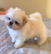 Beautiful Shih Tzu Puppies available for a new home.[lindsayurbin@gmail.com] Image eClassifieds4U