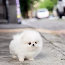 Lovely Pomeranian puppies for adoption Email us ( dylanmilton225@gmail.com ) Image eClassifieds4U