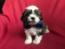 Tremendous Shih tzu puppies available for a new home.[lindsayurbin@gmail.com] Image eClassifieds4U