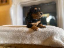 Dachshund Puppies Ready Now