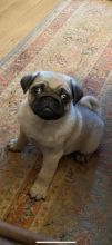 Fantastic Pug Puppies Available