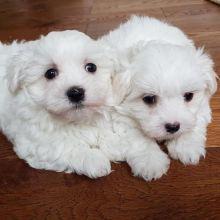 Fabulous Ckc Maltese Puppies Available