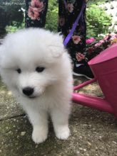 Adorable lovely Male and Female Samoyed Puppies for adoption