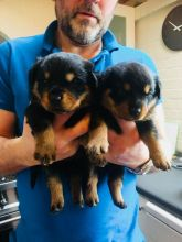 Cute lovely Male and Female Rottweiler Puppies for adoption