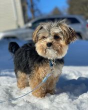 Registered Ckc Male Female Morkie Puppies