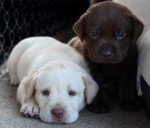 Healthy Labrador Retriever puppies to offer for free adoption.