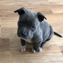 Cute lovely Male and Female American Blue Nose Pitbull Puppies for adoption