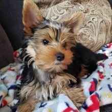 Wonderful lovely Male and Female Yorkie Puppies for adoption