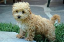 Beautiful Maltipoo puppies available for sale, updated on shots, dewormed and well socialized.