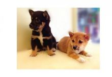 cute Shiba Iun for adoption contact us at kb4746965@gmail.com