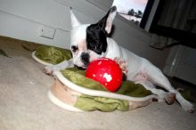 Boston Terrier puppies available,vaccinated , de-wormed, flea treated and potty trained. Image eClassifieds4U