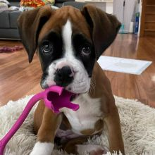 Well trained Boxer puppies