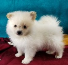 Healthy Home raised male and female Pomeranian puppies available .lindsayurbin@gmail.com