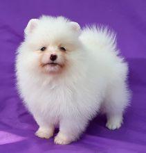 Stunning White Teacup Pomeranian Pups
