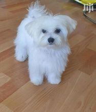 Maltese Puppies Available Male & Female. contact( clintonrinyuh@gmail.com) Image eClassifieds4U