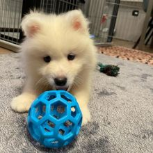 Gorgeous male and female Samoyed puppies available