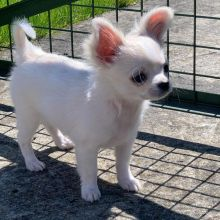 Male and female Chihuahua puppies for adoption at affordable price
