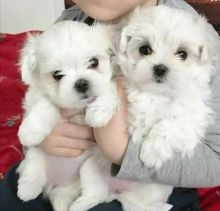 Maltese Puppies Available Male & Female. contact( clintonrinyuh@gmail.com)